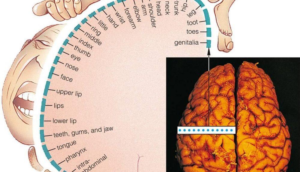 somatosensory cortex