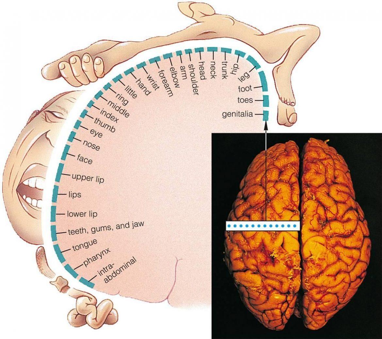 How important Somatosensory Cortex is?